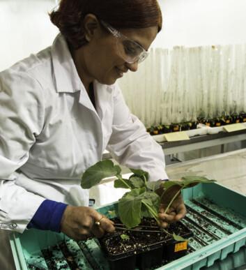 Ishita Ahuja dykrer fram utallige rapsplanter i sin forskning. (Foto: Per Harald Olsen / NTNU)