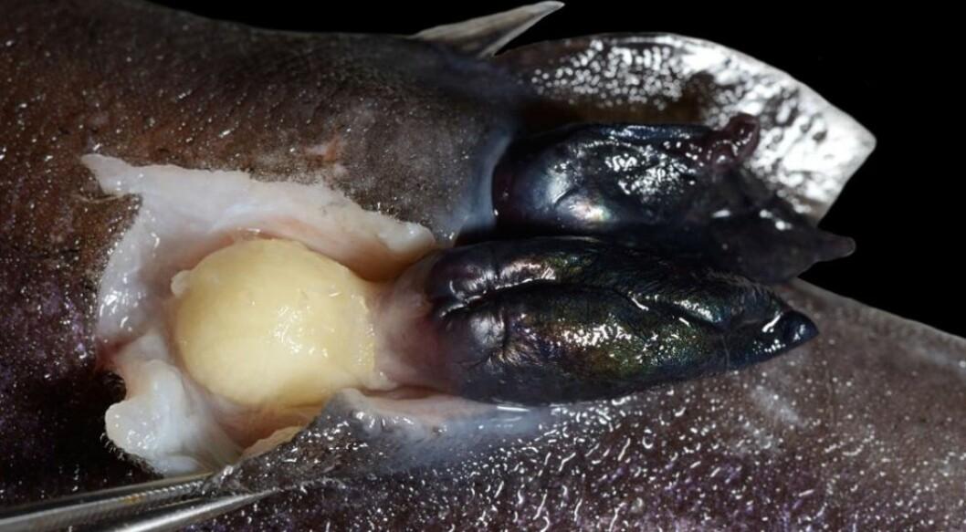 I likhet med ruren i fjæra har A. squalicola både munn og tarm, men bruker dem ikke lenger. I stedet får den i seg næring gjennom et nydannet organ, som ser ut som en gul løk. Under den går sugestilker ned i haikjøttet. Stilkene er trolig en omdanning av stilken som rur ellers bruker til å holde seg fast til steinene i fjæra. (Foto: David John Rees et al.)