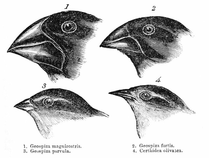 Darwin's finches or Galapagos finches from Darwin, 1845.