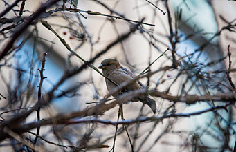 Darwin had Galapagos finches. Norway has… house sparrows?