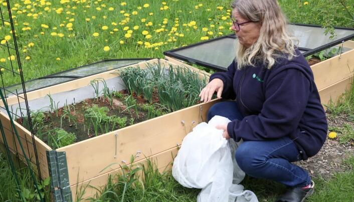 Gulrotfluer lukter gulrøtter på veldig lang avstand. Derfor har Hvoslef-Eide duk over pallekarmkassen med gulrot.