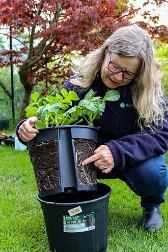 Toppen av den todelte potten kan løftes av, og så er det bare å plukke potetene.