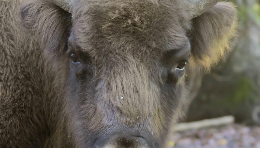 Bison kan gi plass til flere plantearter i Danmark
