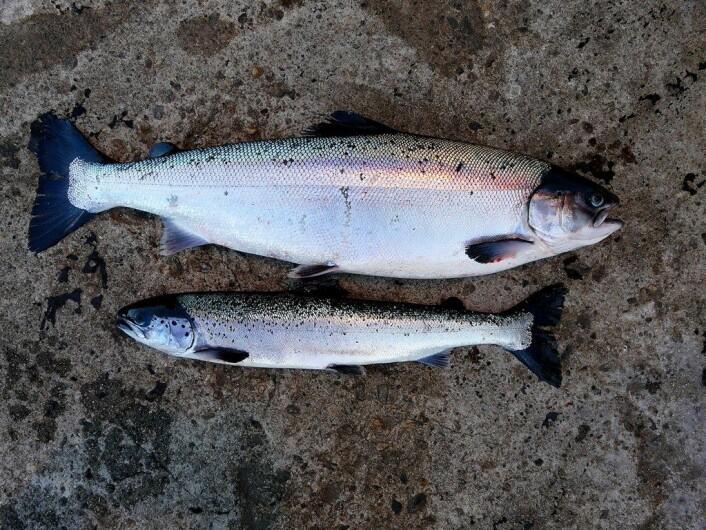 Pankreassykdom (PD) gir dårlig vekst. Her en frisk laks sammenlignet med en jevngammel PD-syk fisk. (Foto: Trygve Poppe)
