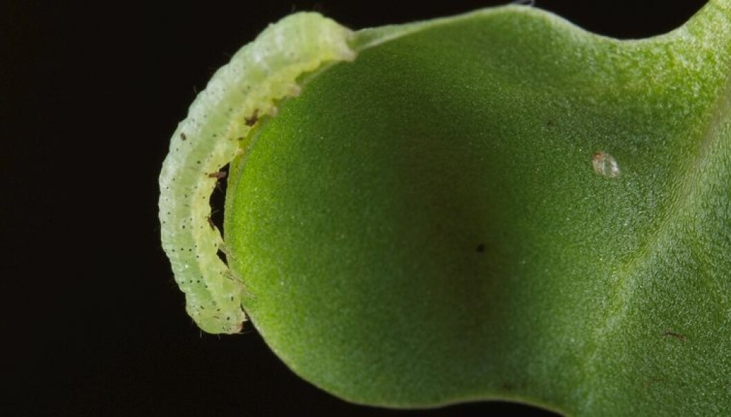Kålorm elsker kålplanten raps. Per Harald Olsen / NTNU