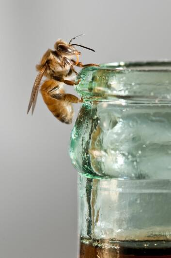 Bier er noen søtmomser, som mange av oss. (Foto: Christofer Bang)