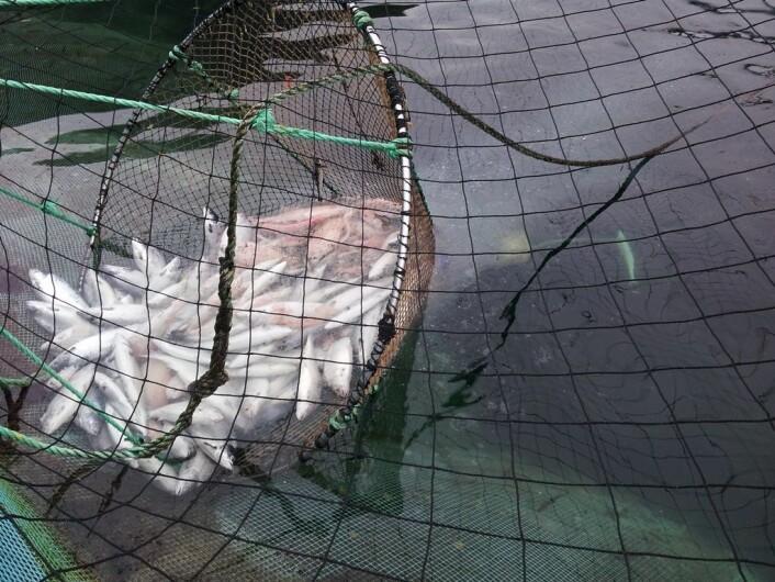 Vevspartikler og fettdråper faller av når død fisk løftes opp i hoven. (Foto: Stein Erich Solevåg)
