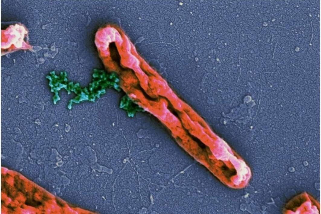 En bakterie som har fått membranen ødelagt av antimikrobielle peptider. Det grønne er kromosomer som lekker ut av bakterien.