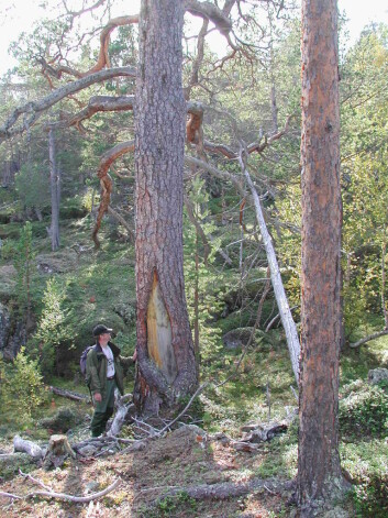 Barken er fjernet på furutrær i nasjonalparken Øvre Dividalen, men det er ikke tatt mer enn at treet lever godt videre. (Foto: UiT)