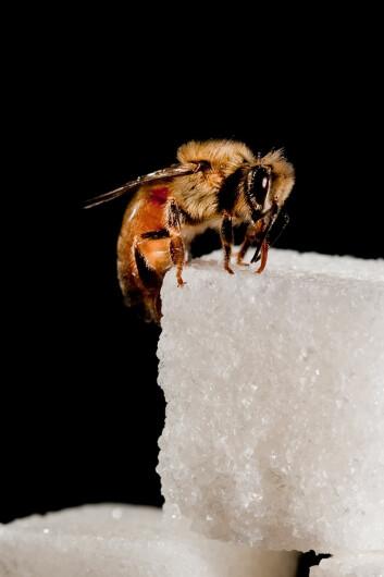 Bier som fikk resveratrol fråtset mindre på sukker enn de som ikke fikk. (Foto: Christofer Bang)