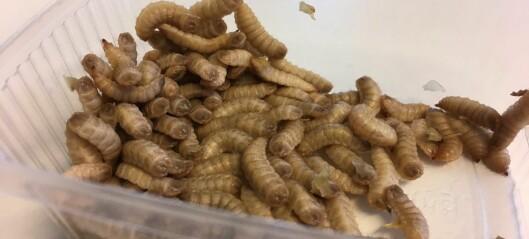 Disse larvene spiser avføringen til oppdrettslaksen. Etterpå spiser laksen larvene
