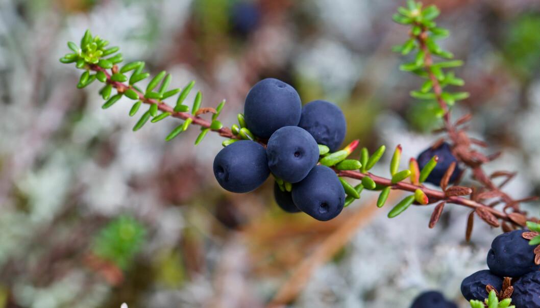 Kreklingen blir stadig vanligere i skandinaviske utmarksområder, noe som går særlig utover urter og gras.