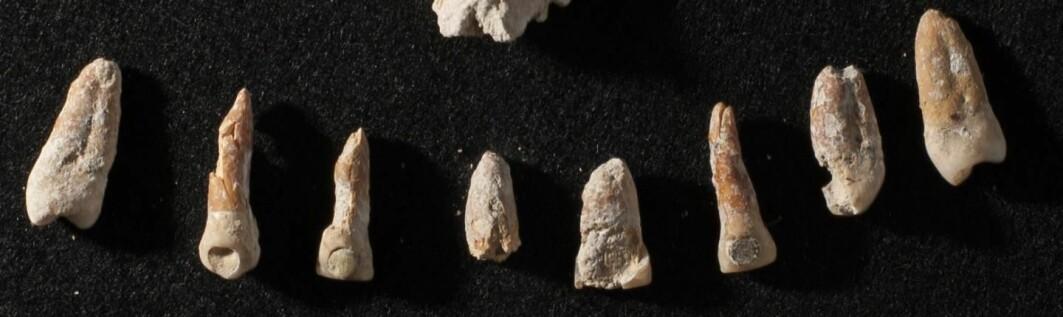 Disse tennene tilhørte antakeligvis Ajpach' Waal - en diplomat som levde i Mayasamfunnet for 1300 år siden. Legg merke til at noen av tennene er boret hull i - og fylt med verdifulle materialer. Det var et statussymbol.