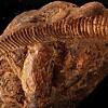 forklare radiokarbondatering av fossiler