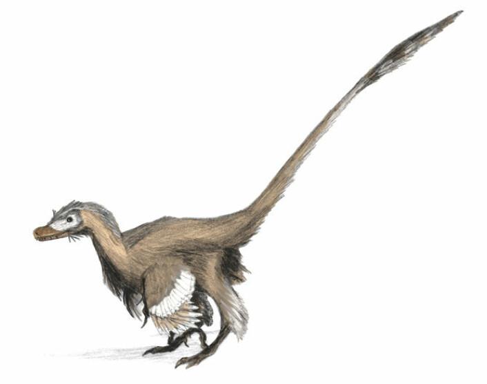 Velociraptor og de andre maniraptorene var langt mer fugleaktige enn det populærkulturen vil ha det til. (Foto: (Bilde: Matt Martinyuk))