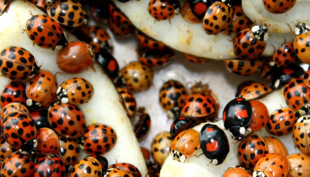 Harlekinmarihøner (Harmonia axyridis) samler seg ofte i store mengder om høsten. Andreas Vilcinskas, Justus Liebig University