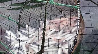 Kyststrømmer sprer virus hos oppdrettsfisk