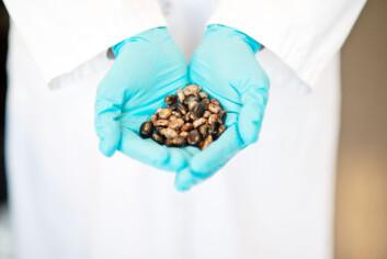 Giften ricin utvinnes fra kastorbønner. (Foto: FFI)