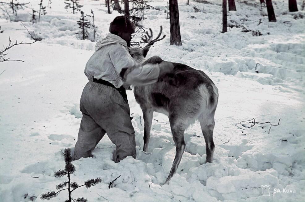 En skoltesamisk soldat pleier reinen sin. Samiske og skoltesamiske soldater tjenestegjorde både i den finske hæren og i sovjeternes Røde armé.