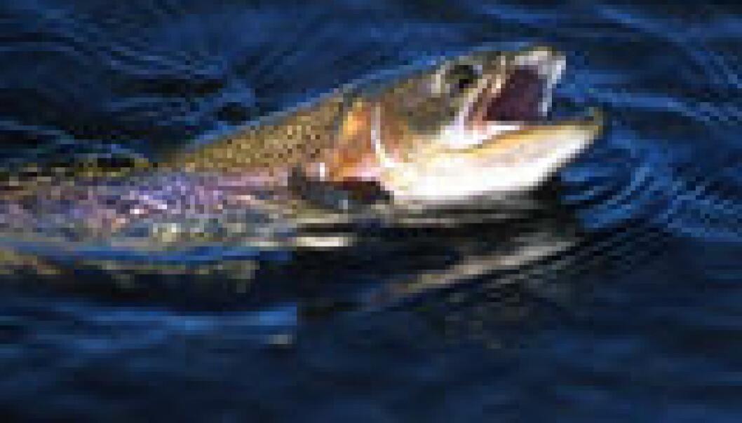 Storfisken blir større av småfisk