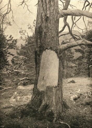 Et yngre skavemerke fotografert rundt 1912 i Dividalen (Holmgren 1912). (Foto: UiT)
