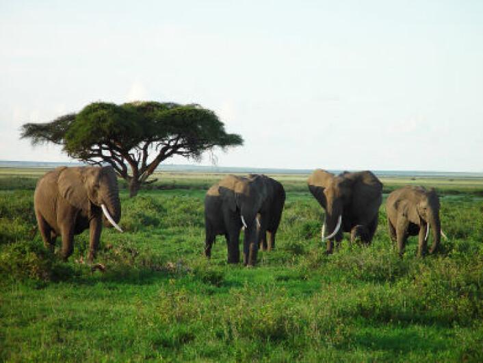 Elefanter på savannen i Kenya (Foto: iStockphoto)