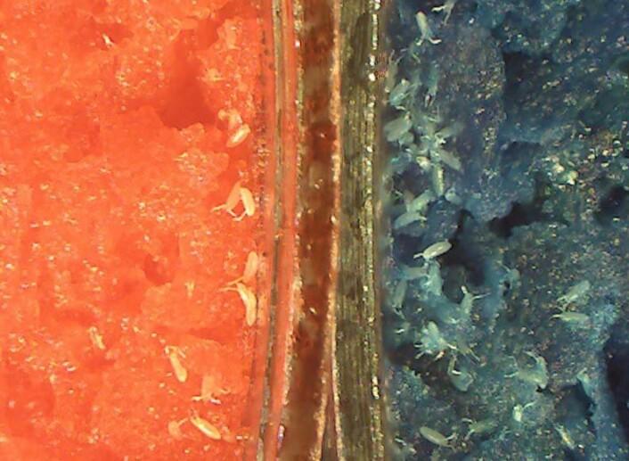Bananflueegg i et matfat med alkohol (rød) og uten (blå). Da det ikke var snylteveps til stede foretrakk fluene det alkoholfrie alternativet. (Foto: Todd Schlenke)