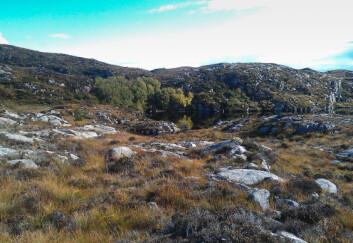 Ospeholt i lynghei. (Foto: Ivar Gjerde/Skog og landskap)