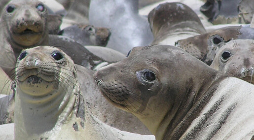 Svineinfluensa funnet i sjøpattedyr