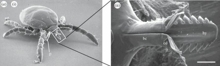 Mikroskopisk bilde av den tredelte flått-munnen. (foto: Dania Richter)