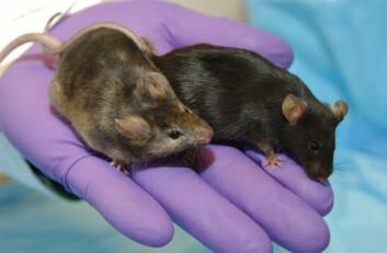 Eric J. Smart løy om at han hadde forsket på genmanipulerte mus lenge før han hadde disse musene klar til forskning. Foto: http://en.wikipedia.org/wiki/Knockout_mouse