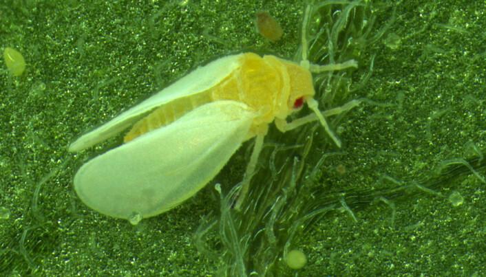 Dette insektet har rappet et gen fra en plante