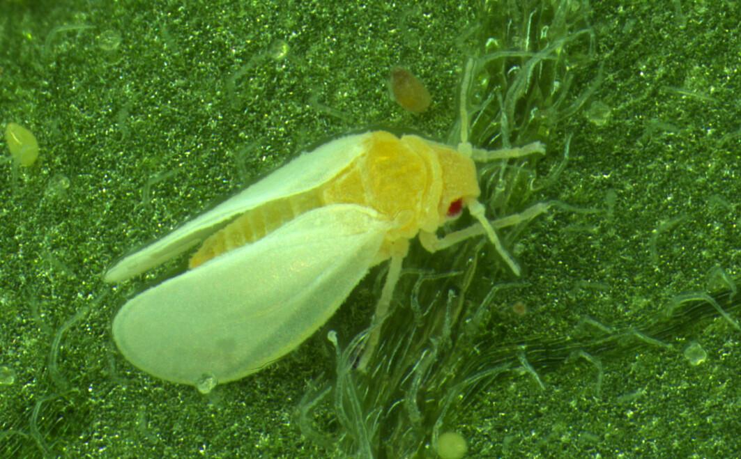 Bomullsmellusa er bitte liten, men gjør stor skade.