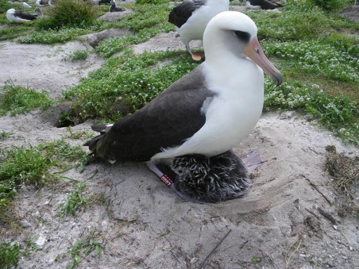 Albatrossen Wisdom er eldste fugl i USA, så langt forskerne vet. Bildet viser den spreke 60-åringen med årets unge. (Foto: John Klavitter, US Fish & Wildlife Service) For opphavsrett, se her.