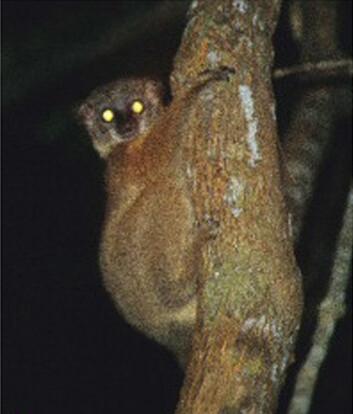"""""""Denne karen ser litt overrasket ut over å ha blitt fanget inn av forskernes kameralinse. Vedkommende lemur tilhører den nye arten Lepilemur randrianasoli, melder et internasjonalt forskerteam. Begge foto: BioMed Central (BMC), Evolutionary Biology."""""""