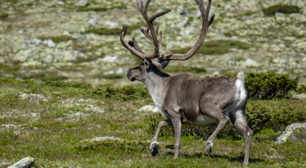 For villrein har man sett en nedgang. Dyras leveområder er under press når naturlige habitater og beiteområder spises opp og deles opp av utbygging. Reinsdyrbukk ved Gråhø på fjellet mellom Kvam og Vinstra i Gudbrandsdalen.