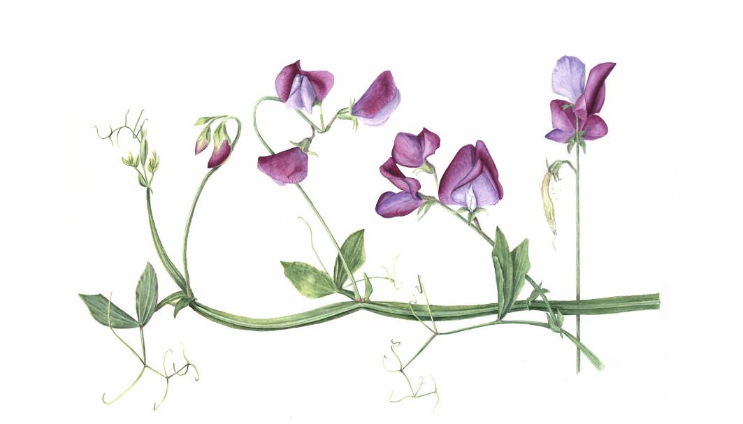 Illustrasjon: Hege Gjerde Sviggum, www.botaniskillustrasjon.no.