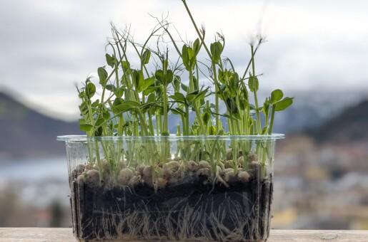Erteplantenes hemmelege liv - eller vår i vinduskarmen