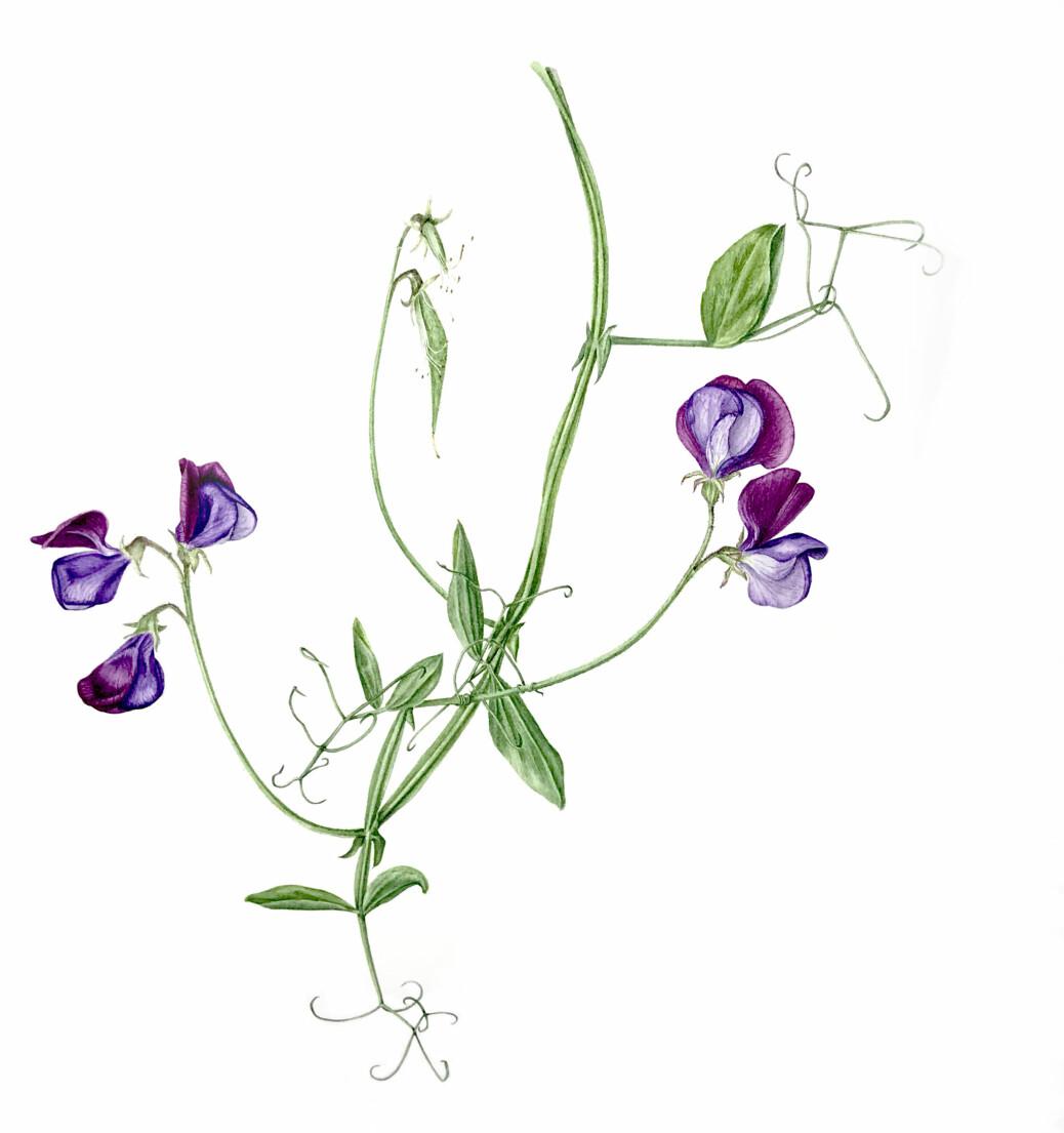 """Blomsterert er ein av dei finaste sommarblomstrane som finst! Det er HVL-kollega Hege og eg heilt einige om. I tillegg til å vere erteblomst-entusiast, er Hege truleg den flinkaste botaniske illustratøren i Noreg, berre sjå på nettsida hennar: <a href=""""https://botaniskillustrasjon.no"""">https://botaniskillustrasjon.no</a> Illustrasjon: Hege Gjerde Sviggum."""