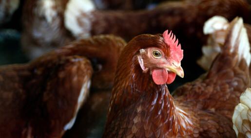 Det dør litt flere frittgående høner enn burhøns i Norge, men ikke når bonden får erfaring