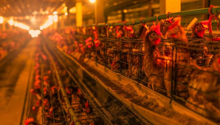 Høns i nakne bur.