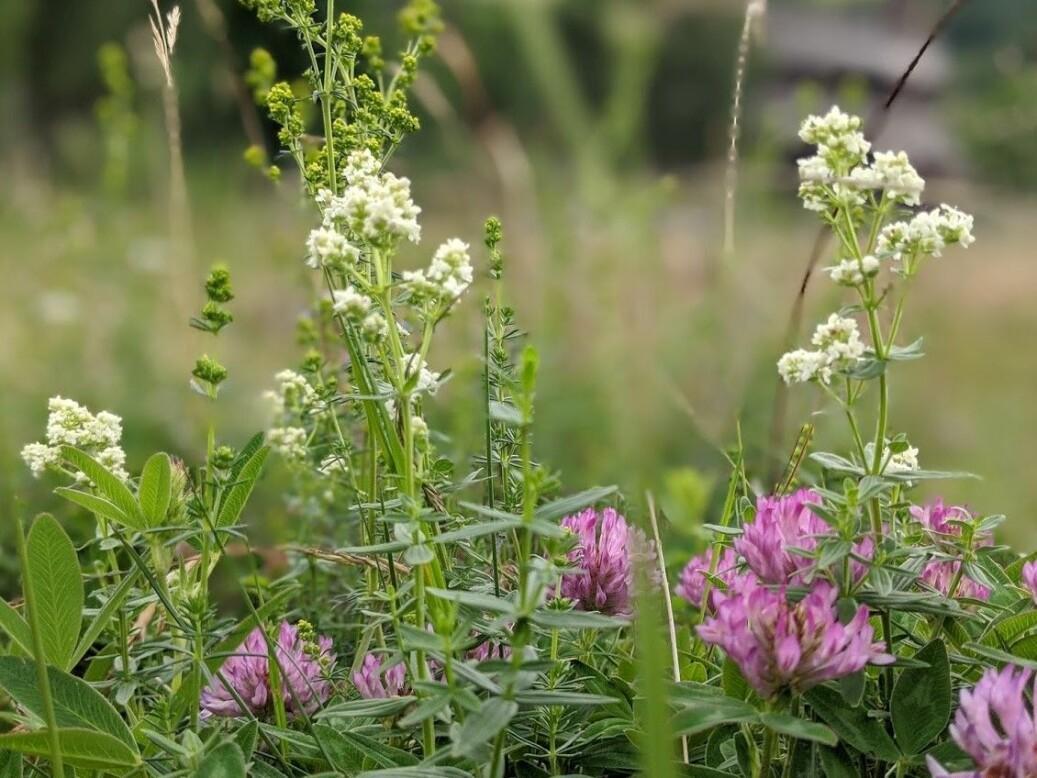 Ei fargerik blomstereng har gjerne innslag av mange erteplantar! I denne enga på Kaupanger veks knall rosa skogkløver i lag med kvitmaure og gulmaure, og erteplantane forsyner jordsmonnet - og dermed både seg sjølv og andre plantar - med nitrogen. Foto: Inger Auestad.