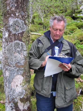 Seniorforsker Magne Sætersdal kan notere seg forekomst av flere lavarter i lungeneversamfunnet på barken av dette ospetreet. (Foto: Ivar Gjerde/Skog og landskap)