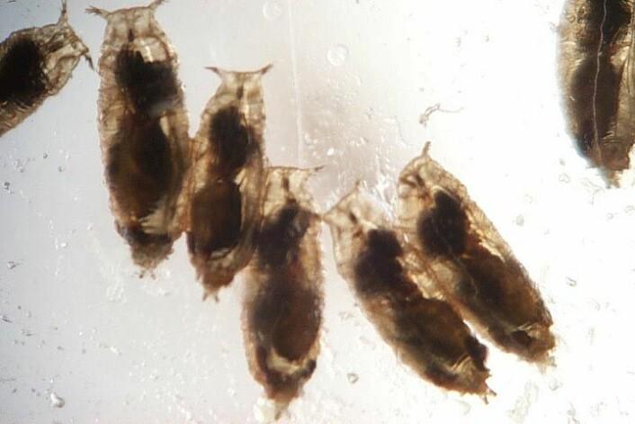 Konsekvensene av angrep av parasittvepsen (Leptopilina boulardi) kan være fatale. Bildet viser nesten voksne veps på innsida av bananfluelarvene de klekket i. (Foto: Todd Schlenke)