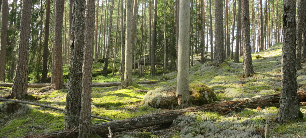 Gammel skog kan binde CO2 i hundre år til – om trærne får stå i fred
