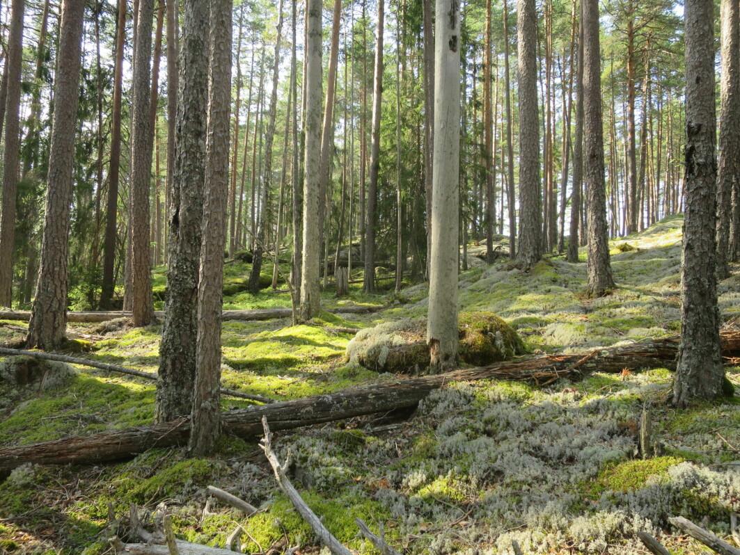 Karbonfangst i eldre skog: Slik furuskog med høy tetthet av trær kan fortsette å vokse og utføre netto karbonfangst minst 50-100 år forbi hogstmoden alder. Foto: Stefan Olberg, BioFokus