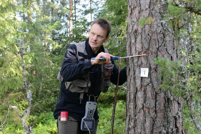 I Landsskogtakseringen måles tilveksten av trær hvert femte år. I den gamle skogen ser vi at trærne vokser til grove dimensjoner som gir verdifullt trevirke til bygningsmaterialer.