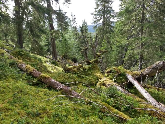 Stedvis kan naturlig mortalitet skape åpninger i skogen og redusert karbonfangst. De døde trærne brytes langsomt ned og vil delvis bli til jordkarbon.