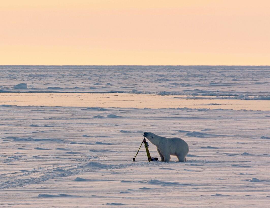 Isbjørnen sjekkar ut instrumentet forsiktig