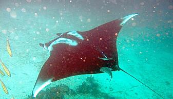 Haien har likhetstrekk med rokker, også kalt skater. Her er en djevelskate.
